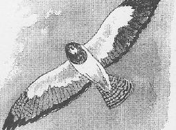 Swainson's Hawk Activity