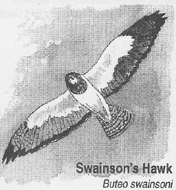 Swainson's Hawk Activity