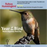 Rufous Hummingbird Infographic