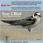 Black Tern Facebook Infographic