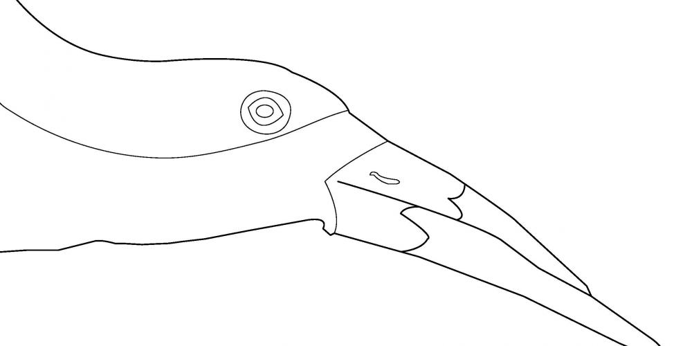 2019 Coloring Page - Black Skimmer