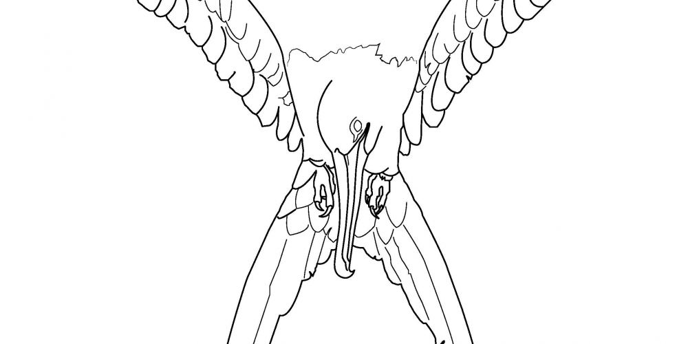 2019 Coloring Page - Magnificent frigatebird