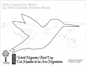 2020 Coloring page - Calliope Hummingbird